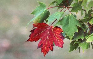 weather-autumn-red-oak-tree-leaves